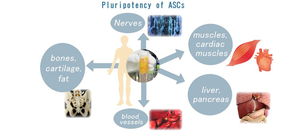 Pluripotency of ASCs