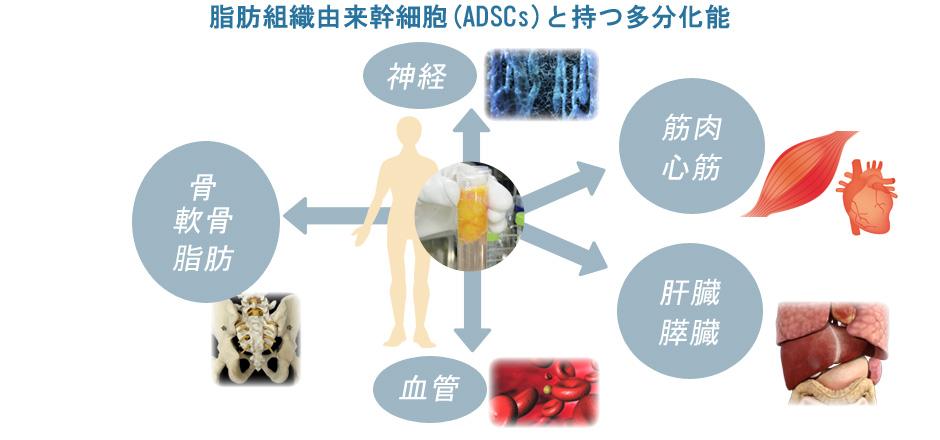 脂肪組織由来幹細胞の持つ多分化能